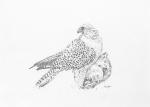 Jerkin on a Hen Pheasant