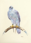 Goshawk on Bow Perch